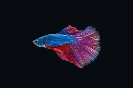 Siamese fighting fish isolated on black background Imagens - 89394436