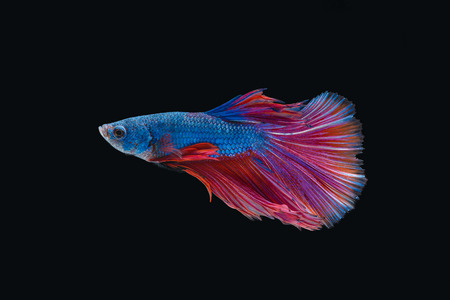 Siamese fighting fish isolated on black background Imagens - 89394296
