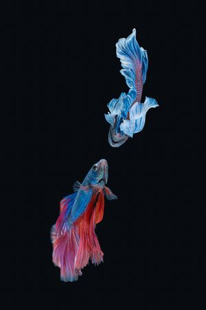 Siamese fighting fish isolated on black background