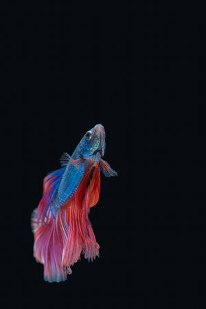Siamese fighting fish isolated on black background Imagens - 89394299
