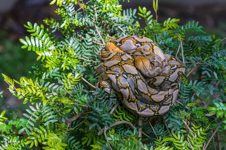 Two asiatic rock pythons are mating on the tree top Stock Photo