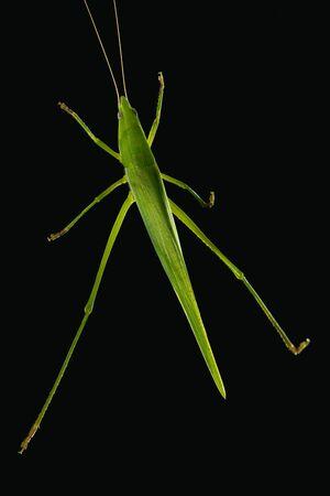 Green bush cricket isolated on black background Stock Photo