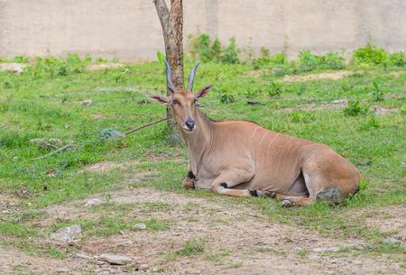 Eland antelope in a zoo