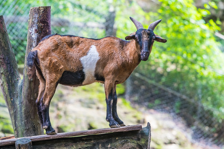 Billy goat standing on the wooden stage in a zoo