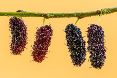 The mulberry fruits on the branch isolated on yellow background