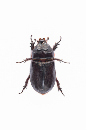 A Coconut rhinoceros beetle one of the invasive species that attacks the developing fronds of Raffia, coconut, and other palms in tropical Asia and a number of Pacific islands. Stock Photo
