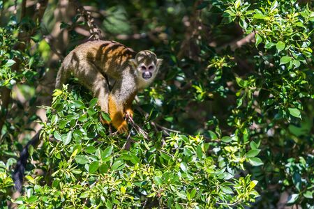 Squirrel monkeys are New World monkeys of the genus Saimiri. They are the only genus in the subfamily Saimirinae. Reklamní fotografie
