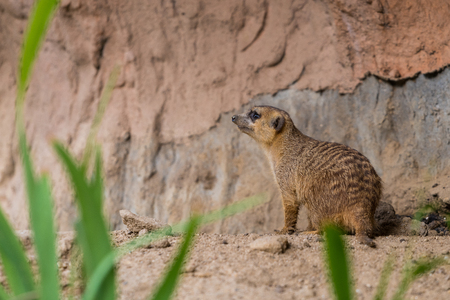 Meerkats are primarily insectivores, but also eat other animals such as lizards, snakes, scorpions, spiders, eggs, small mammals, millipedes, centipedes, small birds, also plants and fungi.