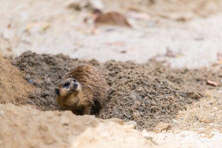 ミーアキャットが穴を掘っている
