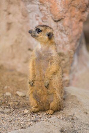 The meerkat uses its tail to balance when standing upright, as well as for signaling.