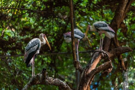 The painted stork is a large wader in the stork family. It is found in the wetlands of the plains of tropical Asia south of the Himalayas in the Indian Subcontinent and extending into Southeast Asia. Stock Photo