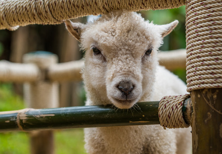 A white lamb under special nourishing program in a private open zoo in northern Thailand