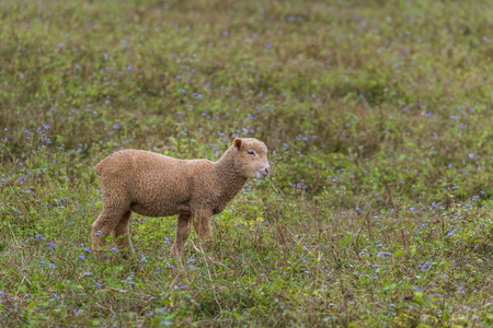 A lamb in a private open zoo enjoy eating the grass in the field.