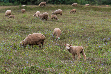 A flock of sheep and lamb in a private open zoo enjoy eating the grass in the field Foto de archivo