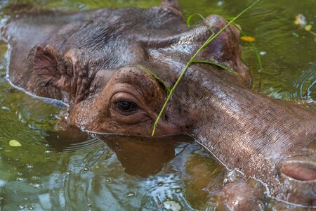 The close-up headshot of a Hippopotamus float in the water Banco de Imagens - 95162938