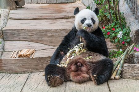 A male giant panda bear enjoy his breakfast of well selected young bamboo shoots and bamboo sticks with cute different eating gestures. 版權商用圖片