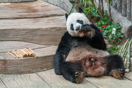A male giant panda bear enjoy his breakfast of well selected young bamboo shoots and bamboo sticks with cute different eating gestures. Banque d'images