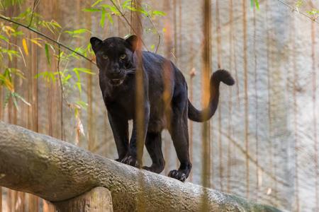 Una pantera negra es la variante de color melanística de cualquier especie de gato grande. Las panteras negras en Asia y África son leopardos y las de América son jaguares negros.