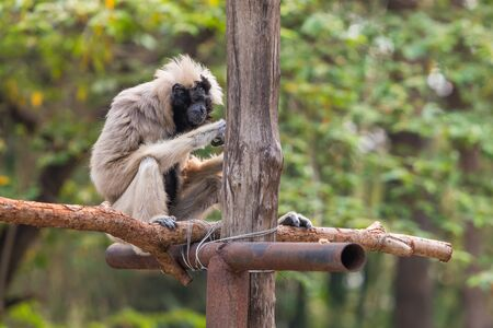 The female pileated gibbon have a white-grey colored fur with only the belly and head black.