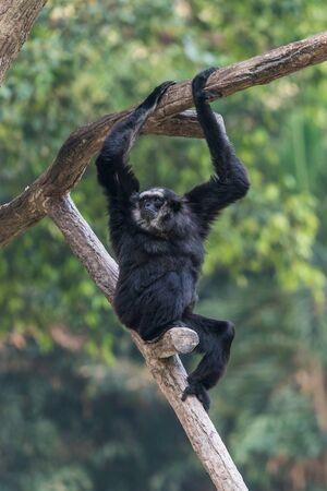 Spider monkey sexual dimorphism