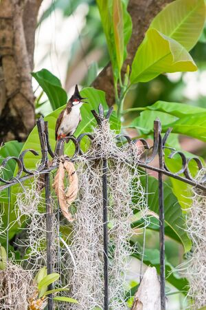 The red-whiskered bulbul or crested bulbul, is a passerine bird found in Asia. It is a member of the bulbul family.