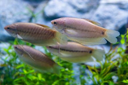 A group of snakeskin gourami fish in a private aquarium