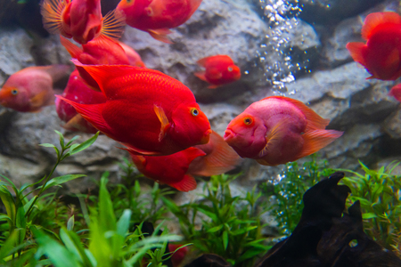 Blood parrot cichlid fish always kiss whenever they see each other