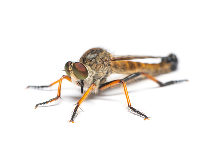Asilidae fly or assassin fly isolated on white background Stock Photo
