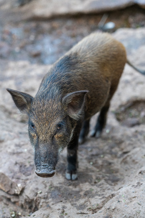 Wild boar (Sus scrofa), also known as wild pig, is a species of the pig genus Sus, part of the biological family Suidae. Banco de Imagens