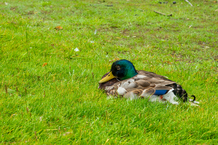 A colorful male mallard is sitting on the grass. Stock Photo