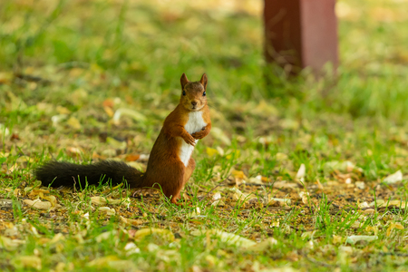 A red squirrel with black tail look at the camera in the park