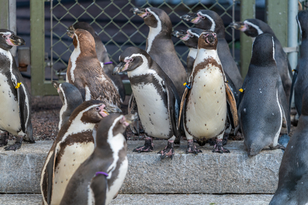 The Galápagos penguin (Spheniscus mendiculus) is a penguin endemic to the Galápagos Islands. It is the only penguin that lives north of the equator in the wild.