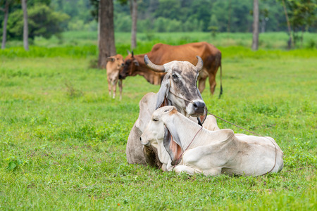 The white and brown Brahman cows with their calfs in the field.