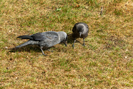 Western Jackdaw crow feed on wide variety of plant material