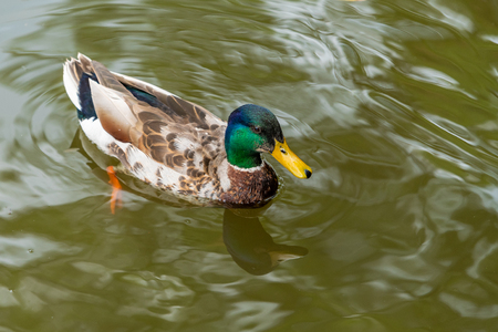 A colorful male mallard is swimming in a pond.