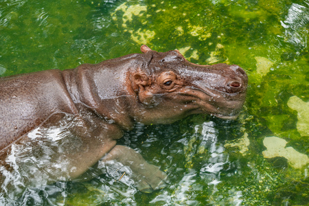A hippopotamus is lying in the shallow pond to cool the body temperature during the hot day in summer Banco de Imagens