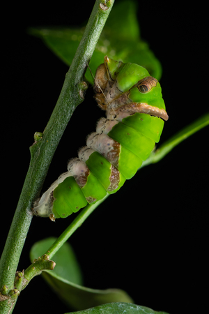 The Lime Swallowtail butterfly larva is transforming to pupa Banco de Imagens