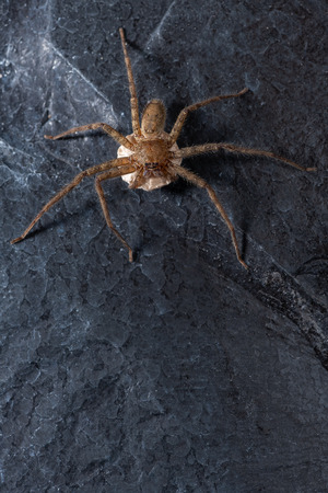 A female wolf spider with her egg sac containing thousand eggs with successively fewer eggs. Banque d'images - 107449531