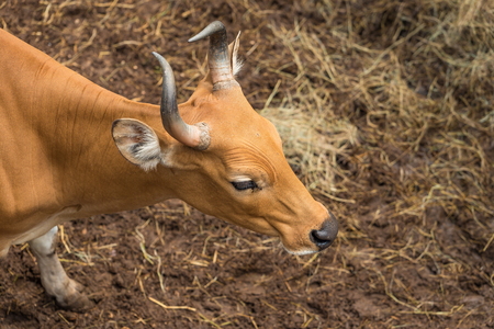 Banteng are a species of wild cattle found in Southeast Asia and used as working animals and for their meat