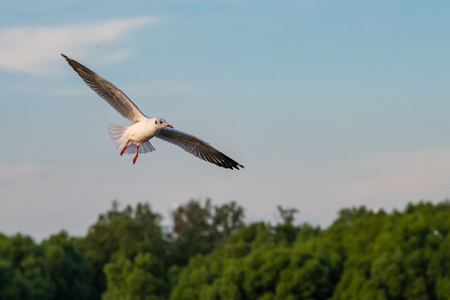 A seagull in flight with the background of blue sky and trees at Bang Pu recreational center, Thailand Imagens