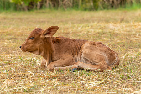 A very young male calf sitting on the grass