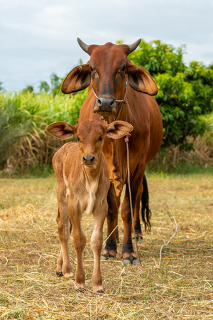 A very young male calf with a female cow isolated in the field