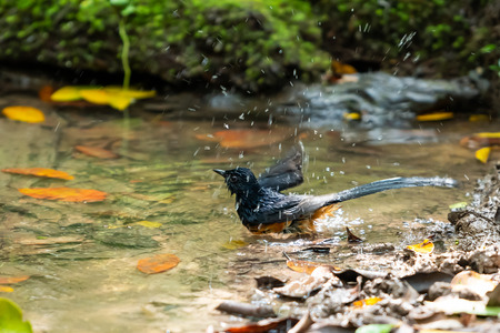 A White-rumped Shama bathing and shaking off water in a natural small pond Banco de Imagens