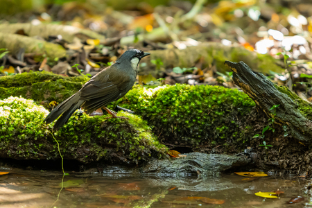 A Black-throated Laughingthrush standing near the natural small pond