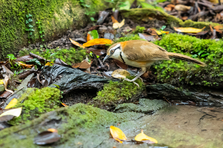 A Lesser Necklaced Laughingthrush standing near a natural small pond Banco de Imagens