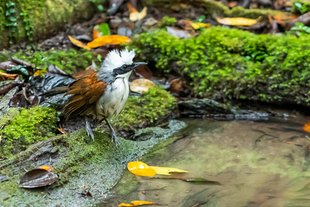 A White-crested Laughingthrush standing near a natural small pond