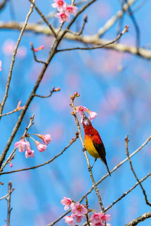 A colorful tiny Mrs.Gould's sunbird feed on a blooming Wild Himalayan Cherry flower