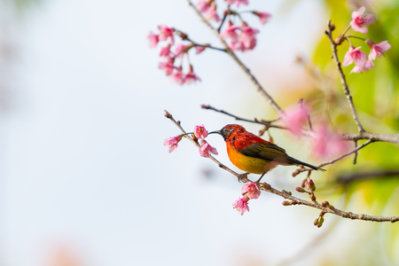 A colorful tiny Mrs.Gould's sunbird perch on Wild Himalayan Cherry branch Banco de Imagens
