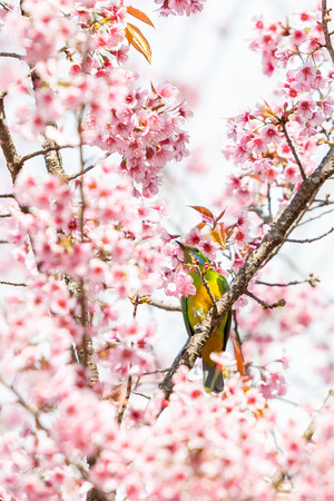 A colorful female Orange-bellied Leafbird perch on wild himalayan cherry branch