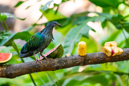 Nicobar Pigeon perching  on a feeding perch in a zoo Stock Photo